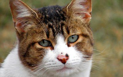 Kissan silmät rähmivät ja hän aivastelee – Kissaflunssa?