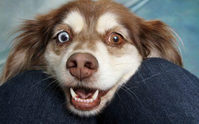 Sidekalvontulehdus koiralla